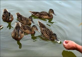 image de nourrissage de canards